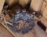 tufty swallow chicks