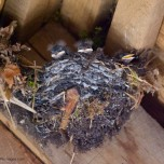 tufty swallow chicks